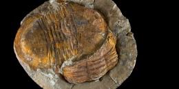 Photo of the day - Trilobite Asaphellus sp. - Ordovician - Morocco